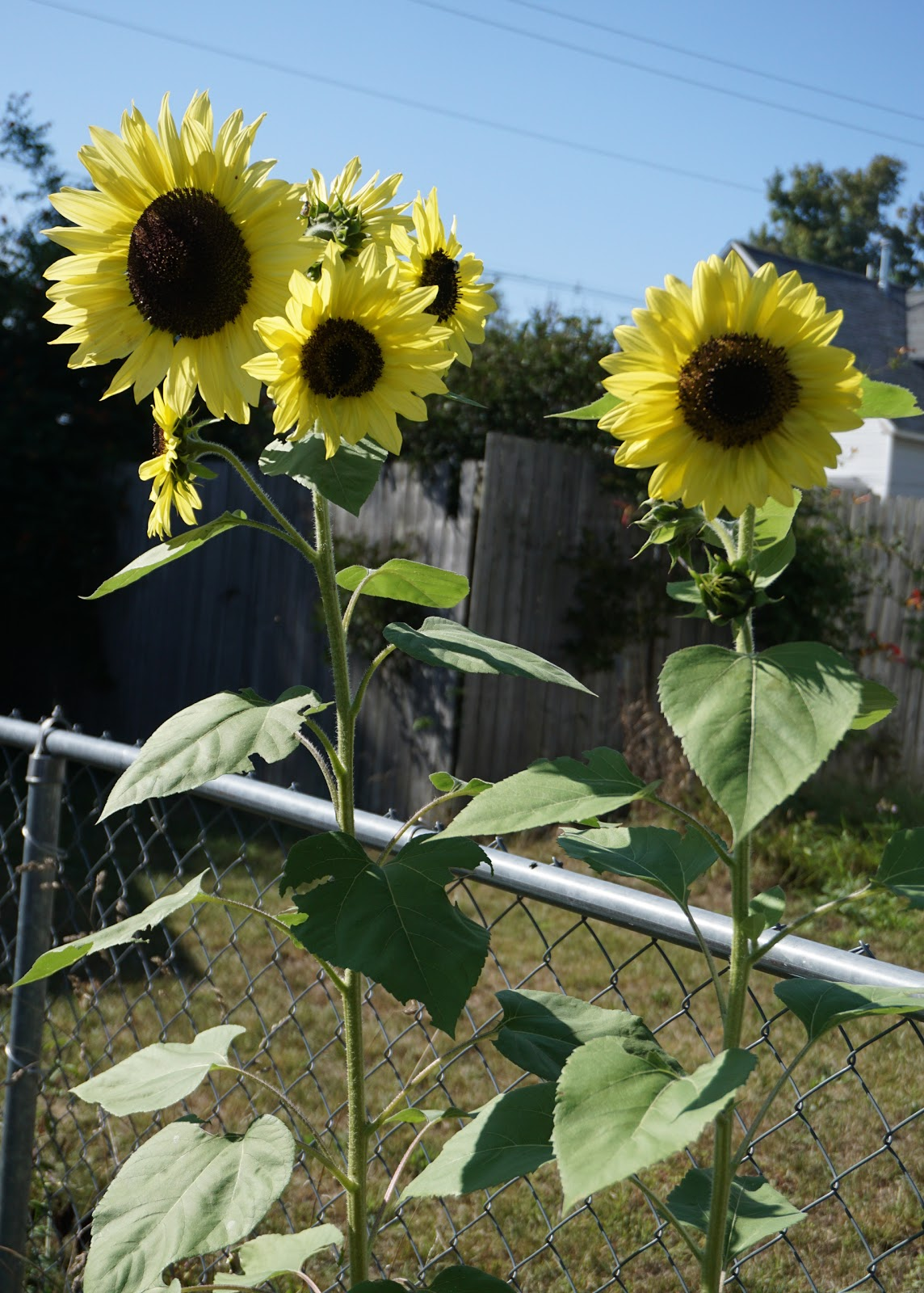 Our 2017 Sunflowers