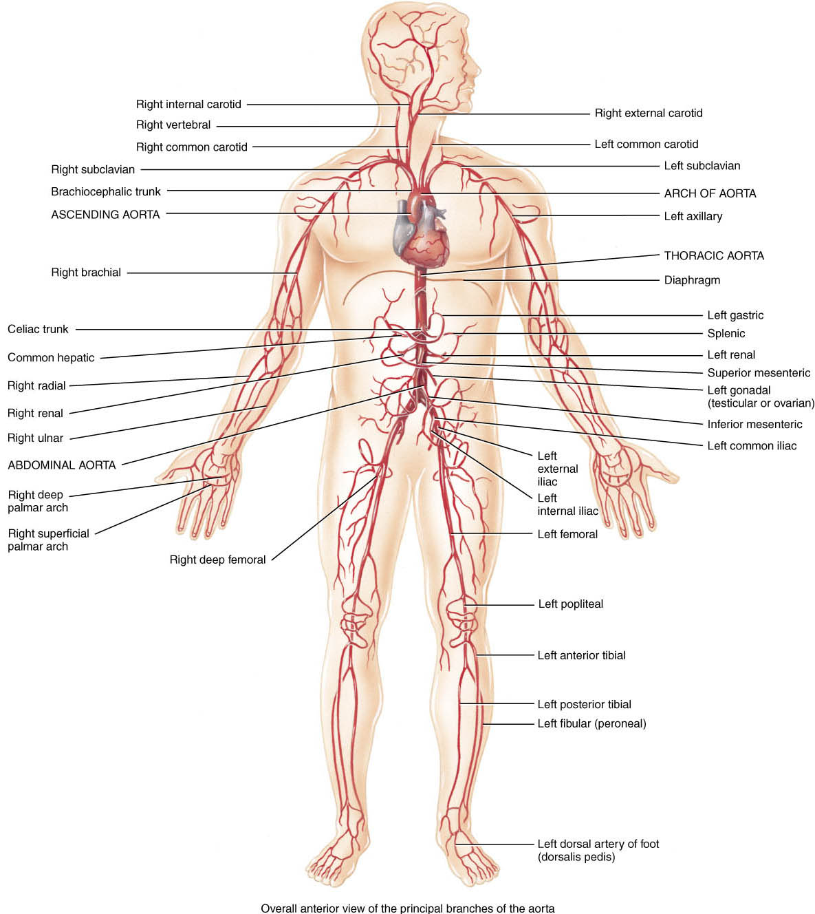 Pgme Medical Notes Arterial Tree