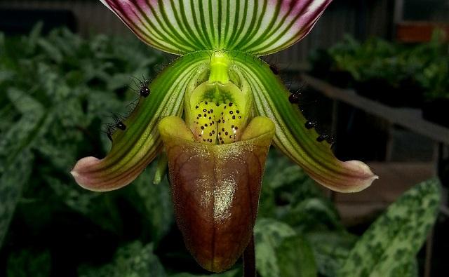 Flor de ORQUÍDEA CALLOSA Paphiopedilum callosum