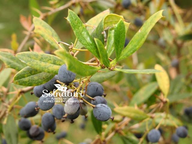 """Berberis ruscifolia """"Espina amarilla"""" - Vista en detalle de los frutos maduros"""