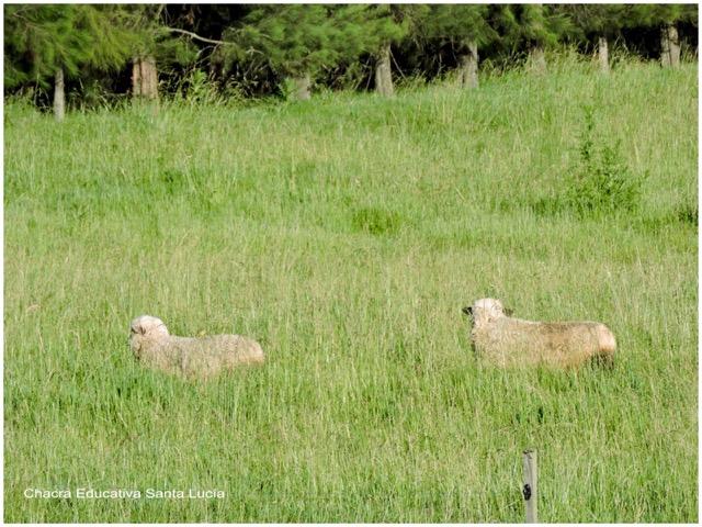 Ovejas en la pradera - Chacra Educativa Santa Lucía