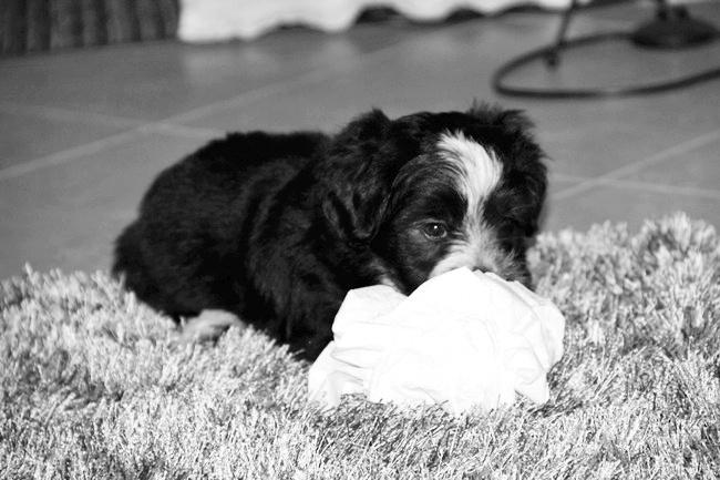 havanese griffon puppy