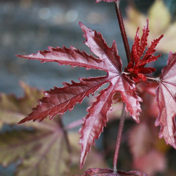 Maple Leaf Hibiscus: Florida Survival Gardening: Five Plants That Look Like