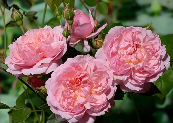 Anne Boleyn роза сорт