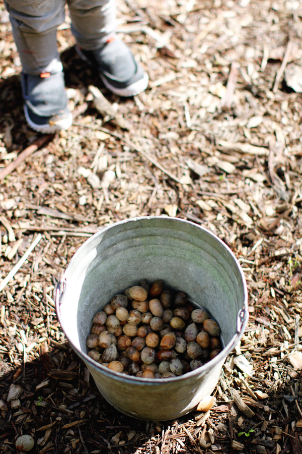Acorns for pigs
