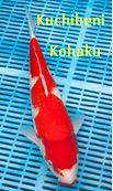 Jenis Ikan Koi Kohaku kuchibeni kohaku