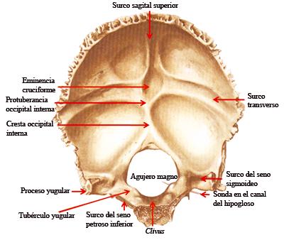 anatomia: hueso occipital