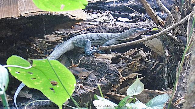 Soa-soa monitor lizard