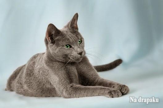 Na Drapaku Blog O Kotach Kot Rosyjski Niebieski
