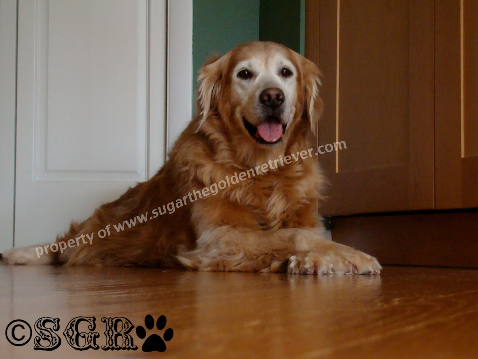 Safe Clean Shiny Wood Floors Golden Woofs
