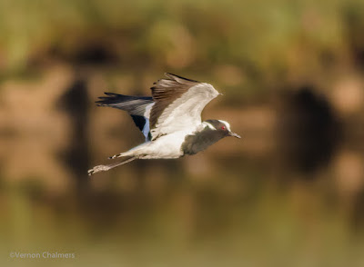 Blacksmith Plover over the Diep River - Woodbridge Island