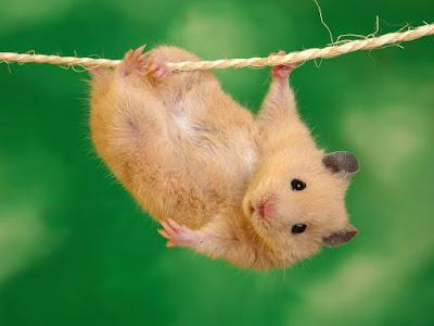 Sevimli-Hamster-Fotoğrafı