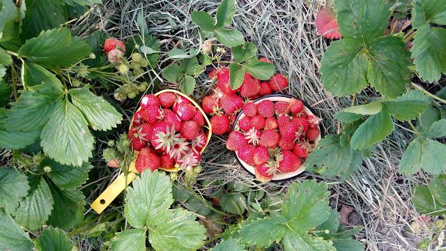 дары лета: ягода - клубника