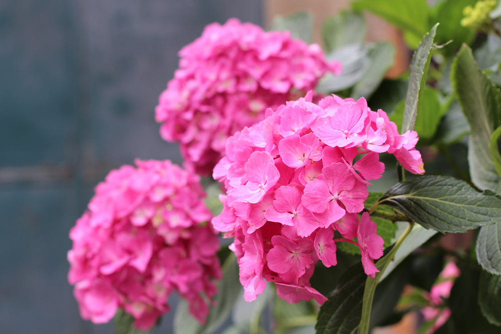 Pink hydrangeas in Piemonte, Italy - travel & style blog