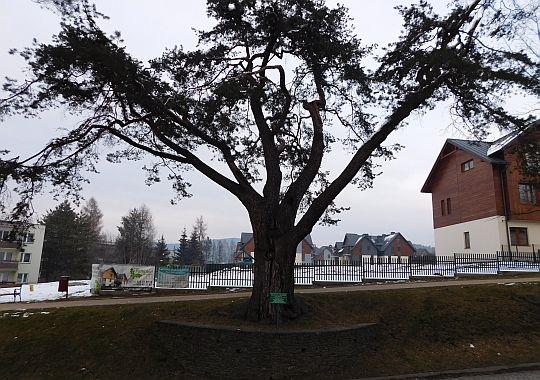 Pomnik przyrody - sosna zwyczajna (Pinus silvestris).