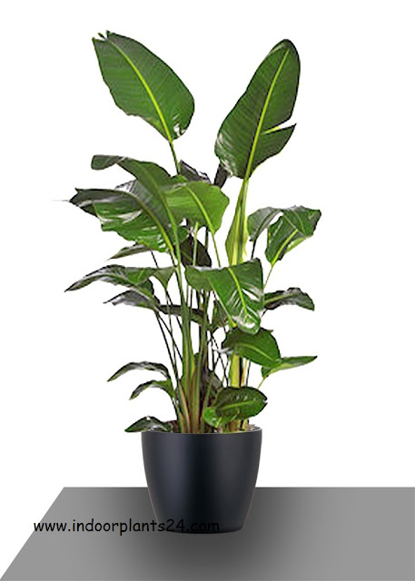 white bird of paradise indoor plant care information