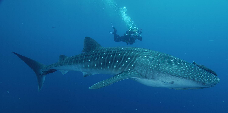 Mei 2017 Berita Misteri Kaos Fish Ikan Hiu Shark Ini Merupakan Jenis Yang Tidak Berbahaya Bagi Manusia Karena Makanan Utama Mereka Juga Plankton Dengan Membuka Mulut Secara Besar