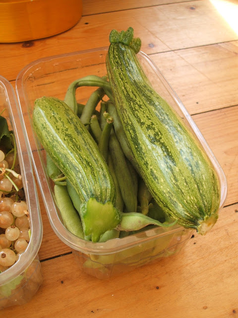 harvesting courgettes from our allotment