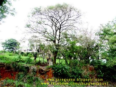 Ipê-rosa possui aproximadamente 15 metros de altura e está com as raízes expostas