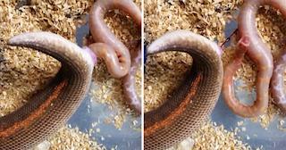 Βόας γεννά έξι μικρά φίδια και το βίντεο έχει κάνει πολλούς να απορήσουν