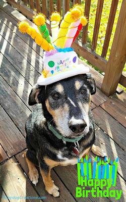 dog in birthday hat rescue senior shepherd mix