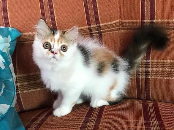 Daftar Harga Kucing Persia