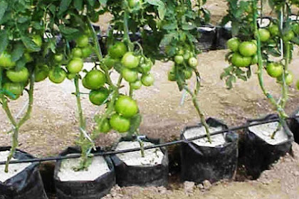 Cara Menanam Tomat Dengan Hidroponik Sederhana