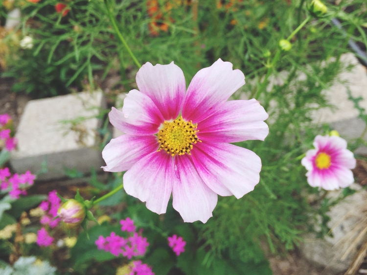 Cosmos in bloom // Zone 6 & 7 Garden Tasks for September // www.thejoyblog.net