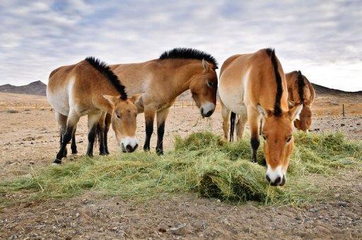 珍しい!モンゴルに生息する野生の馬、モウコノウマ【n】