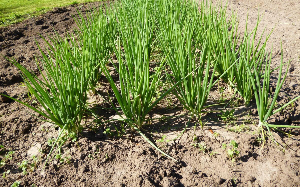 Stealth Survival : Riverwalker's Pics - Shallots in the Garden