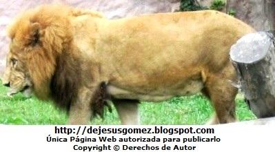Foto de Léon de perfil del Parque de las Leyendas. Foto del león de Jesus Gómez
