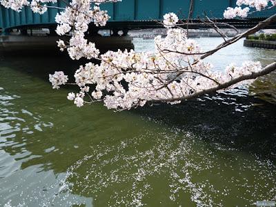 桜の天の川