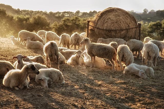 Herd of Sheep on a Hillside