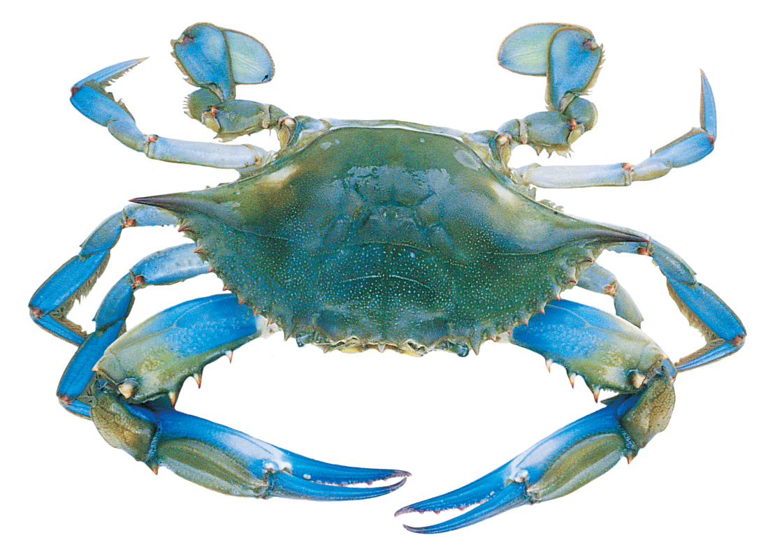 The Beauty Blue Crab
