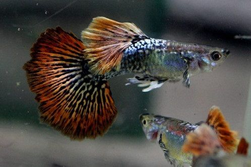 Ikan Hias Mudah Berkembang Biak Guppy
