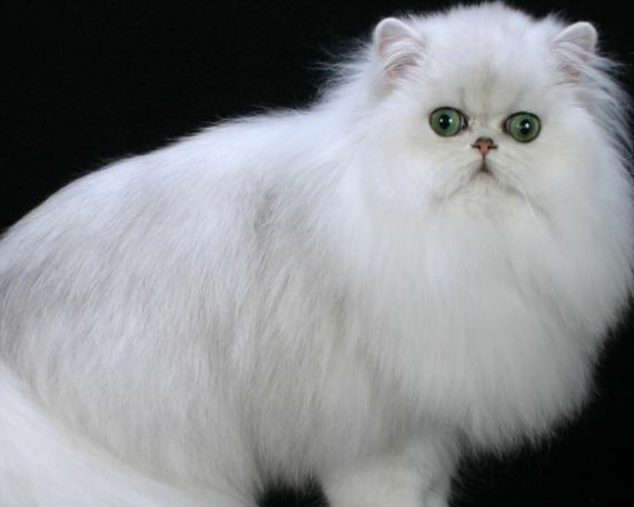 100 Wallpaper Kucing Lucu Dan Comel Kualitas Hd Kucing Anggora