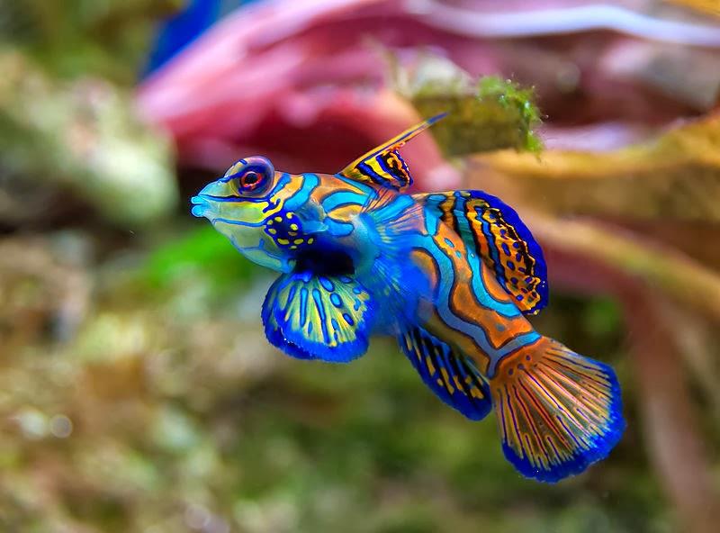 Akvaryum mandalina balığı hakkında bilgi