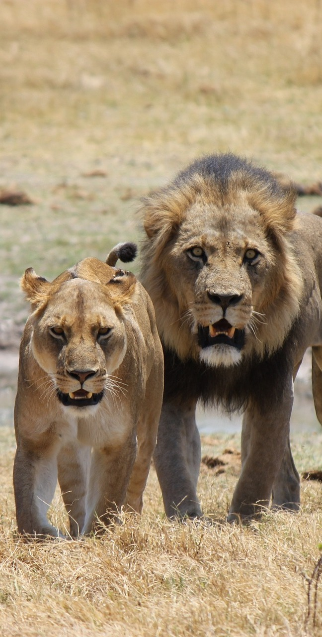 A male and female lion.