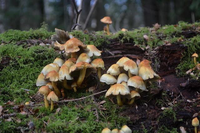 mushrooms on a bit of redwood