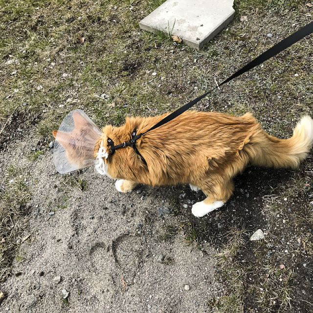 gustav, katt