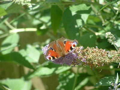 A colorful Peacock butterfly on a buddleia blossom