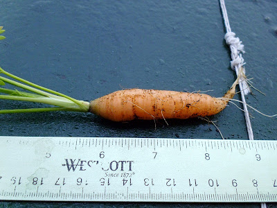 Bigger carrot harvest