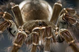 Foto de uma aranha Theraphosa blondi