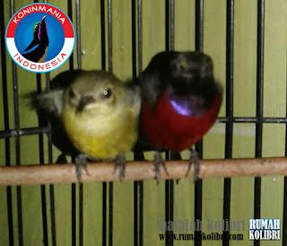 cara menangkarkan kolibri ninja