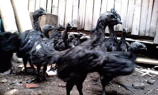 Jual Anakan Ayam Cemani Umur 2 Bulan