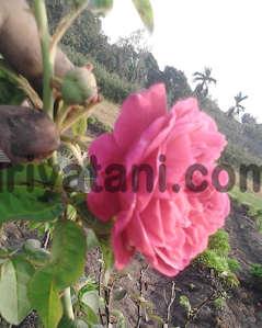Mawar Tabur