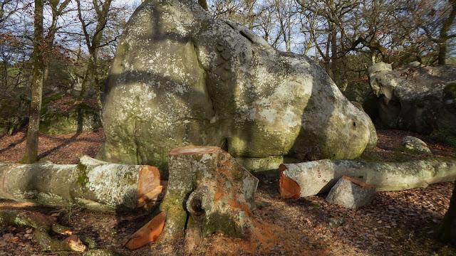 Hêtre remarquable assassiné au Bas Cuvier, forêt de Fontainebleau en février 2019