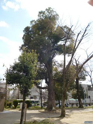 十三公園楠