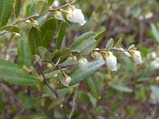 Cassandre caliculé - Chamaedaphne calyculata - Cassandra calyculata