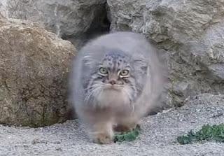 Φρενίτιδα για το ζώο που βρέθηκε στα Λευκά Όρη και μοιάζει με